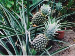 pineapples0001
